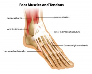 Anatomy of Achilles Tendon and foot muscles